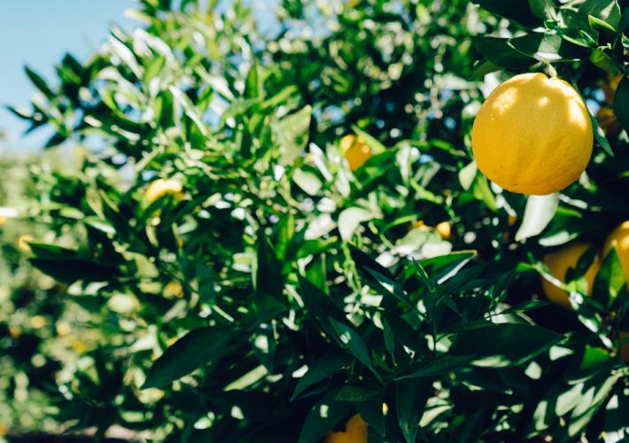 Identify the Fruit